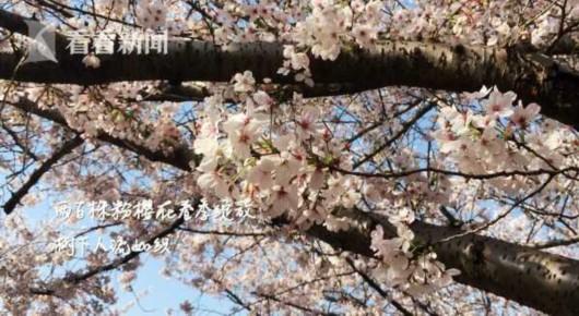 上海清明赏花正当时 春色满城等你来