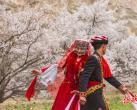 探访新疆喀喇昆仑杏花村:数以千计游客专程前来一饱眼福