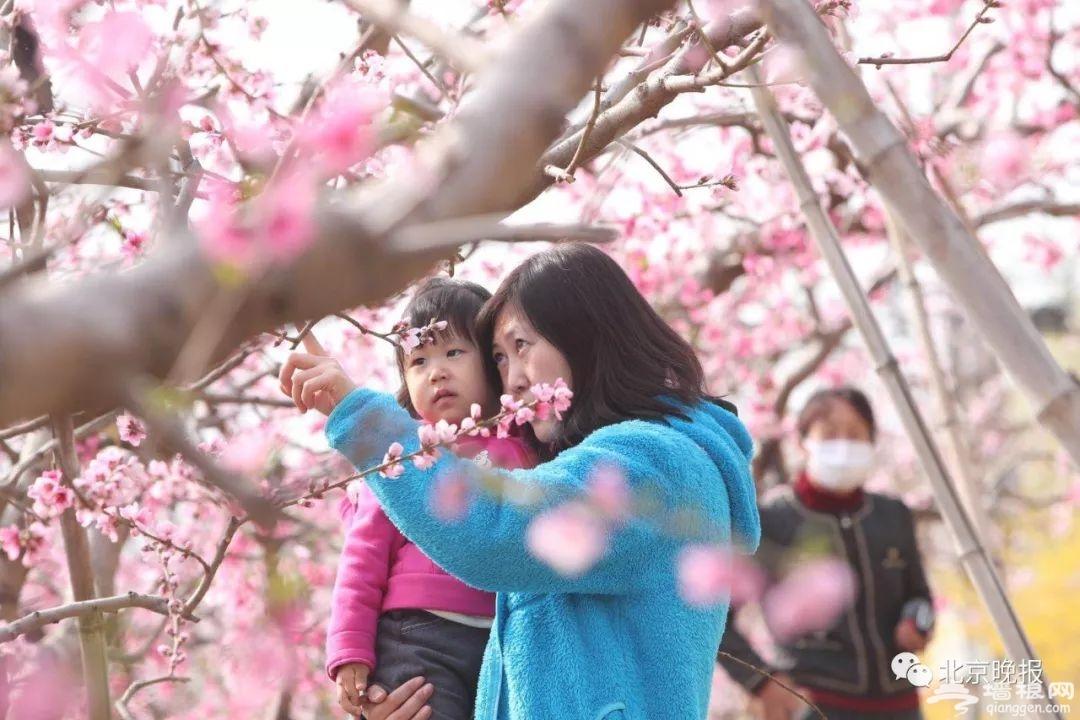 想体验22万亩桃花海?平谷桃花节开幕,赏花路线看这个就对了![墙根网]