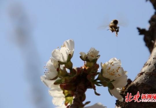 北京通州西集万亩樱桃花迎春绽放 本周末为最佳观赏期
