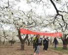 2019赵县第十九届梨花节于3月31日至4月15日举办