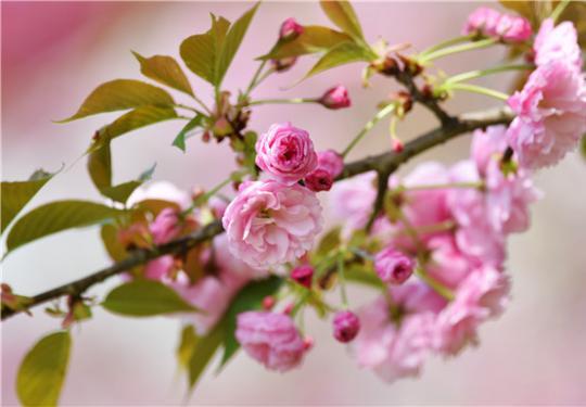 上海周末赏花攻略:共青森林公园晚樱绽放 错过又要等一年