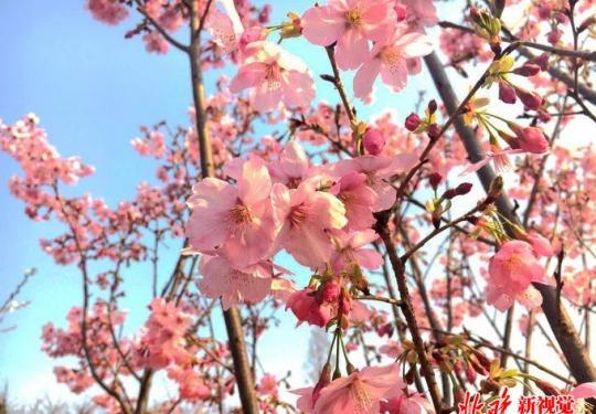北京亦庄镇樱花公园8月亮相,30亩地上将密集种植350棵樱花树