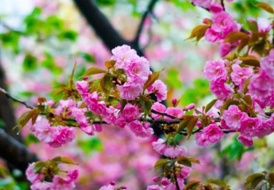 顺义牛栏山樱花迎来赏花潮