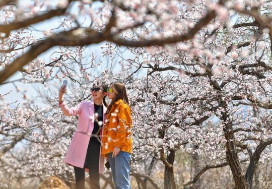 北京延庆万亩杏花添彩世园会 打造艾蒿文化公园和乡村民宿品牌