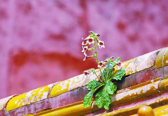 故宫里奇花异木数不胜数,各处野花也有春天,还带来不少惊喜