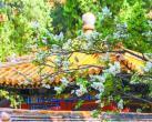 故宫里的丁香花有特别之处