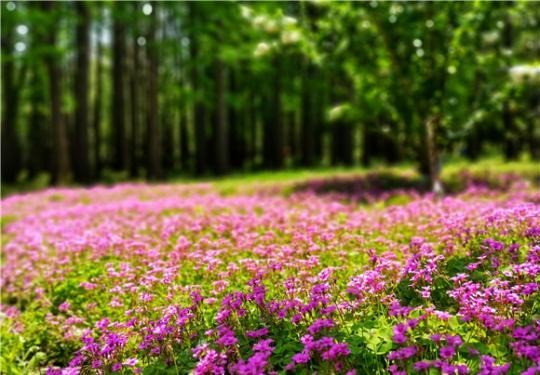 """共青森林公园""""五一""""赏花攻略 木绣球杜鹃迎最佳观赏期"""