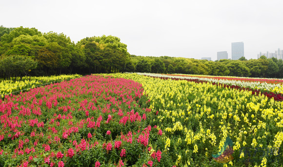 世纪公园10000平方米七彩花田正怒放 花期持续到5月下旬
