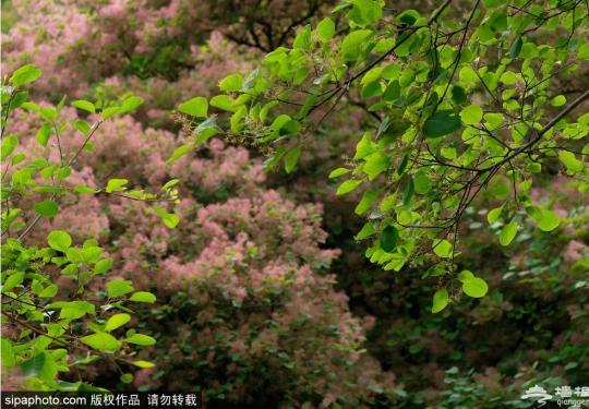2019坡峰岭第三届黄栌花节隆重开幕!除了美景还有这些美食