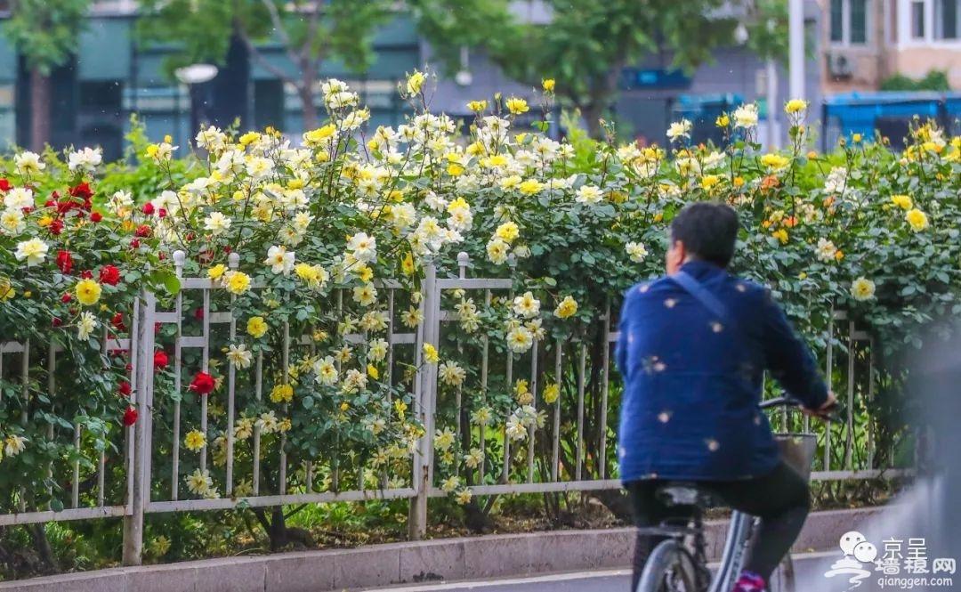 北京城内五月花海 哪一款是你的心头好?[墙根网]