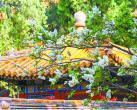 故宫里的丁香花有何特别之处?建福宫花园的暴马丁香别有寓意