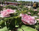 首届北京牡丹文化节开幕!六大赏花区 展出五百余个牡丹品种
