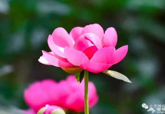"""北京春季赏花最后一波,来这里收获20厘米花径的""""五月花神""""!"""