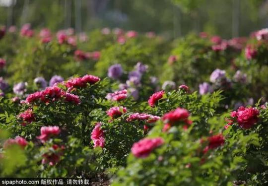 五月赏花去哪里?这个地方500余亩的牡丹花海一次看到爽!