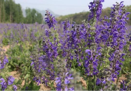 与薰衣草一样浪漫!怀柔宝山这里450亩蓝花鼠尾草开好啦!约吗?