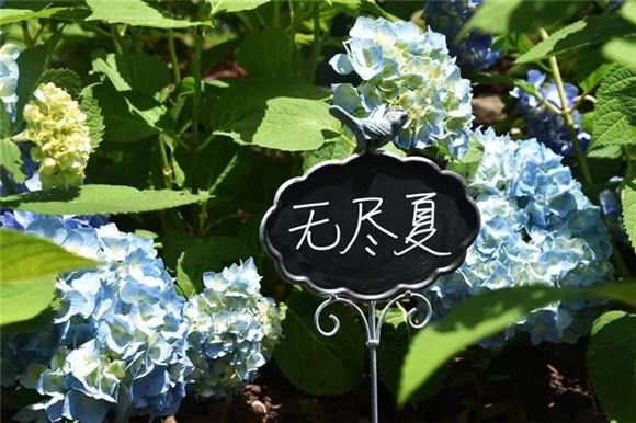 无尽夏、梦幻蓝……好听又好看的八仙花将迎最佳观赏期[墙根网]