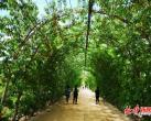 北京丰台有个800米樱桃长廊,花10年时间打造,完全有机栽培