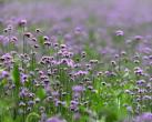 上海世纪公园马鞭草盛放 5000平米浪漫紫海邀你来赏