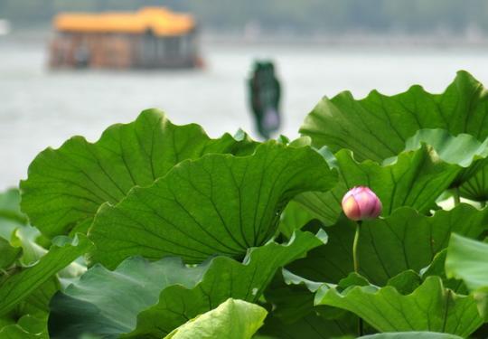 6月下旬盛花期,京城何处赏荷去?北京市气象台推荐赏荷最佳时间
