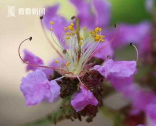福建紫薇盛开 上海植物园开启夏花紫薇季