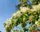 车谷砣村:千年茶树花开正盛 静待游人