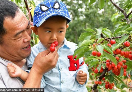 通州区好吃的樱桃,大多都藏在这个小镇上!