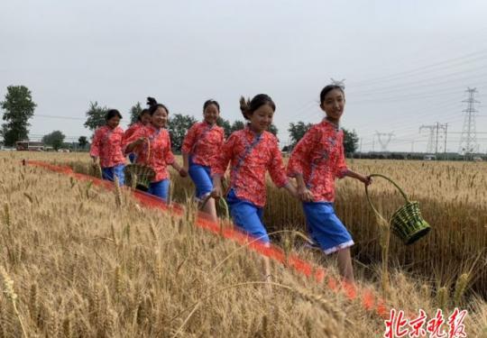 北京最大产麦区的麦子熟了 今起一周邀市民体验收麦拾穗