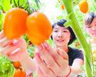 北京人怀念着儿时的原味西红柿 在密云这个小村庄就能吃到
