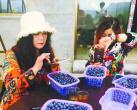 北京水長城腳下有個藍莓園 偏甜和偏酸兩種口味都好吃