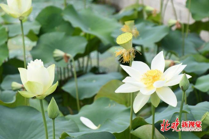 圆明园首次发现并蒂莲,古莲子今夏有望开花,荷花节将持续到8月[墙根网]