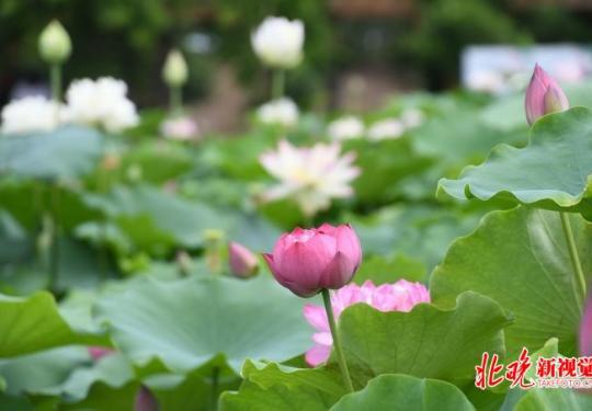 圆明园首次发现并蒂莲,古莲子今夏有望开花,荷花节将持续到8月