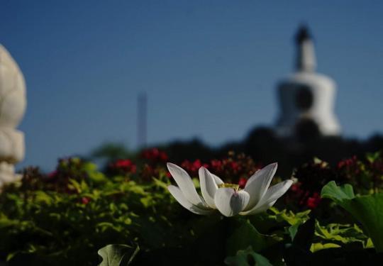 北海公园荷花展览今起亮相 共布置各类花卉20000余盆
