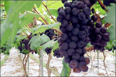 49.9元1大1小,小汤山木林森农业休闲观光园葡萄、蔬菜采摘开始了[墙根网]