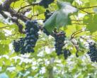 上海松江葡萄采摘好地方推荐 这些果园都来过了吗