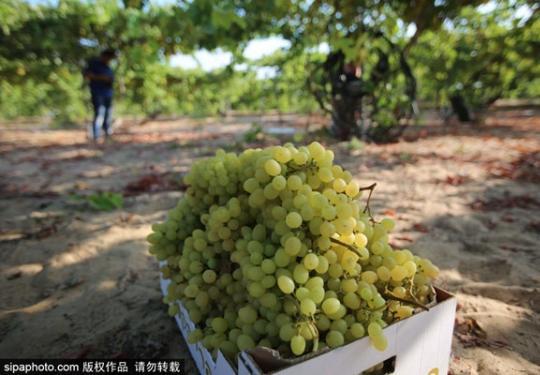 葡萄熟了,快來京郊農場采摘吧!