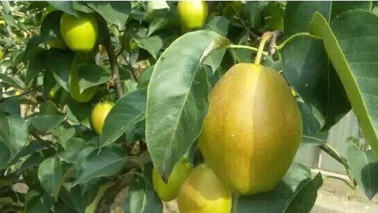 京郊采摘季:大兴兴北翠绿果园的梨熟了,曾获奥运水果优质奖,等您来品尝!