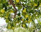 百果之王——北京京白梨8月23日正式下树!为什么心急吃不了京白梨?