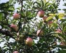 苹果、梨、枣.....翘首以盼的水果可以采摘了