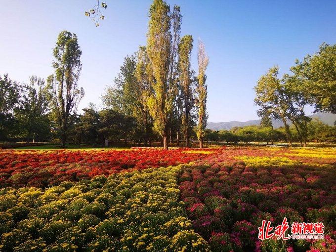 北京植物园将开市花展,40万株鲜花迎国庆,以菊花、月季为主[墙根网]