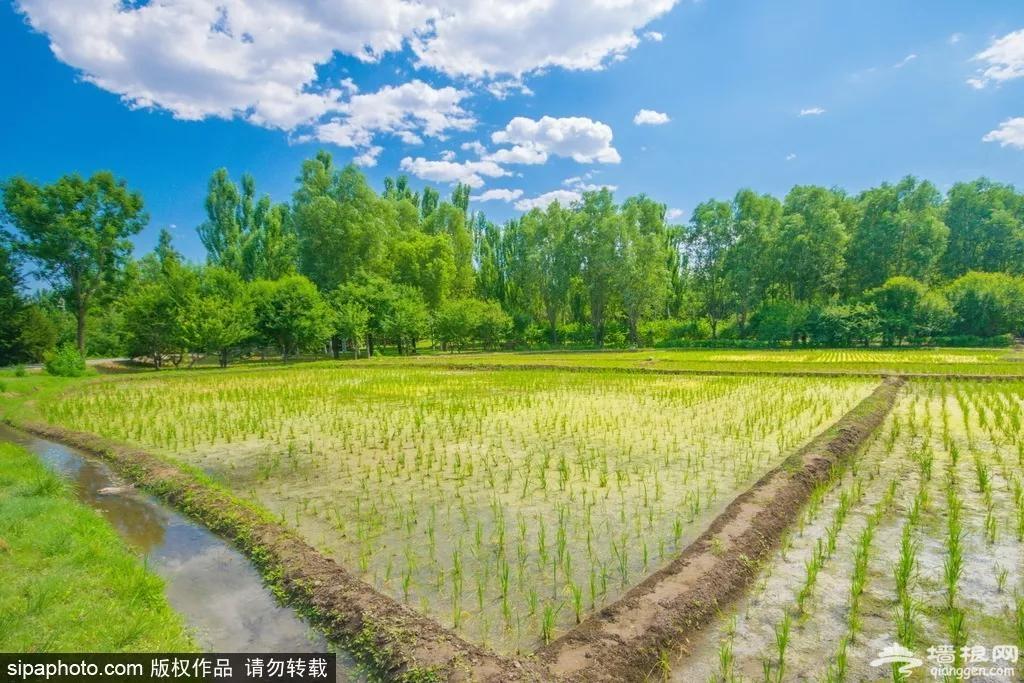 惊艳!红叶未红,北京这几个地方已成金色的海洋,好看好玩,关键免费![墙根网]