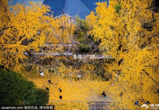 惊艳!红叶未红,北京这几个地方已成金色的海洋,好看好玩,关键免费!