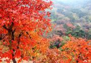 北京香山公园红叶红了吗 四大红叶观赏路线等你来