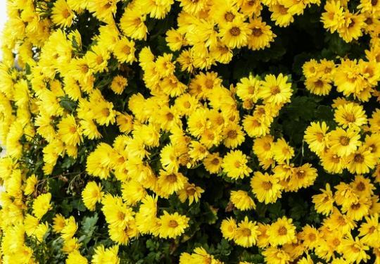 2019北京世界花卉大观园第十一届北京菊花文化节(时间+地点+门票)