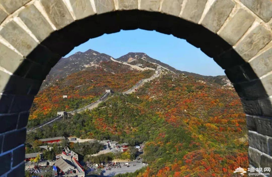 八达岭,红了!登临长城就可以首览北京金秋红叶初芒[墙根网]
