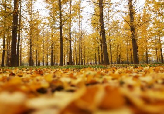 京城最美银杏观赏期来了 钓鱼台、奥森公园、地坛的叶子都黄了
