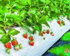 首届昌平草莓节明天开幕 有2个草莓新品种首次亮相