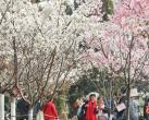 """2020年玉渊潭公园""""樱花节""""拟推纪念门票,具体发售时间从这俩地得知"""