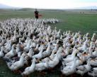 联合国发蝗灾警告,浙江10万鸭子出征巴基斯坦,宁波鸭申请入战