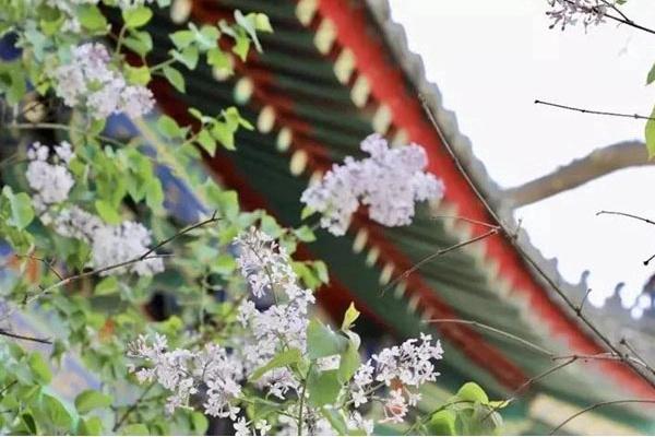 """""""游""""北京古寺,遍赏春暖花开[墙根网]"""